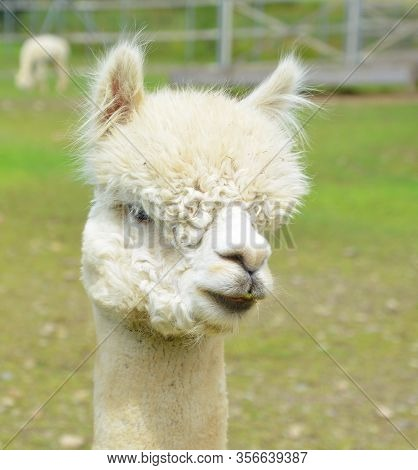 Alpaca (vicugna Pacos) Is A Domesticated Species Of South American Camelid. It Resembles A Small Lla