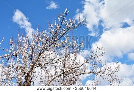Blooming Apricot Tree With Blue Sky In Te Background. Beautiful Apricot Tree In White Blossom In Spr