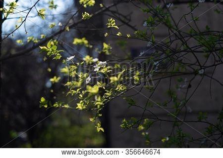 Springtime Flowers Blossom. Blossom Of Spring Flowers. White Flowers Blossom In Springtime. Blossom.
