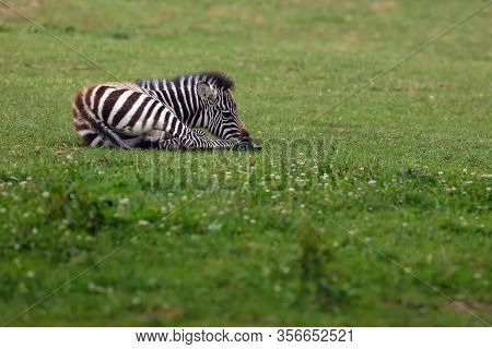 The Grant's Zebra (equus Quagga Boehmi) , Small Foal Lying On A Green Pasture.