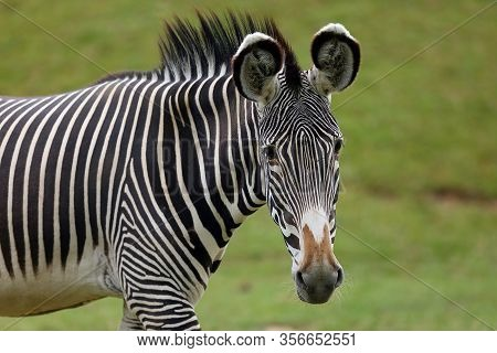 The Grévy's Zebra (equus Grevyi), Also Known As The Imperial Zebra, Portrait With Green Background.