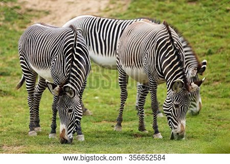 The Grévy's Zebra (equus Grevyi), Also Known As The Imperial Zebra, Grazing Herd With Green Backgrou