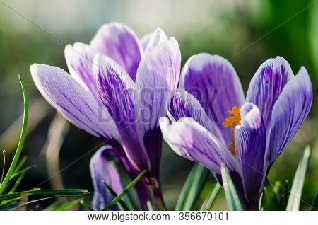 Little First Spring Flowers In The Open Air, Crocuses Bloom On A Sunny Day