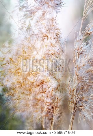 Dry Reeds On Hazy Day In Spring. Close Up.