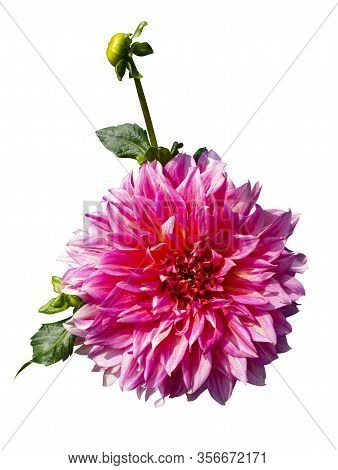 Beautiful Red Dahlia. Dahlias Isolated On White Background