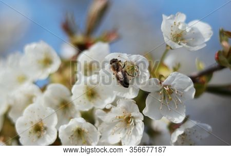 Detail On European Honey Bee How Collected Pollen From Blossom Of Prunus Avium. Beautiful Macro On I