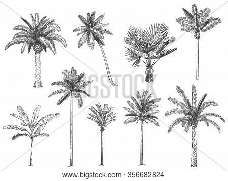 Hand Drawn Tropical Palm Trees. Vector Set Of Hawaii Beach Palm Tree, Fern And Frond Outline, Botany