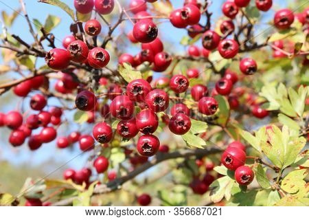 Crataegus , Commonly Called Hawthorn, Thornapple.bright Red Berries And Green Leaves On A Branch Of