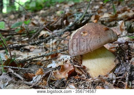 Young Specimen Of Boletus Pinophilus Or Pine Bolete, Or Pinewood King Bolete, Symbiotic Fungus Which