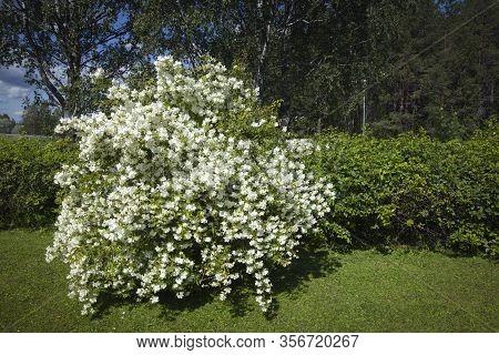 Closeup Of Jasmine Flowers On A Bush, In A Garden. Summer.