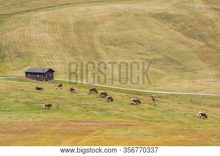Panoramic View Of Meadows In Dolomites With Cows On Pasture.