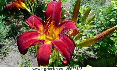 Bright Red Flowers Of Day-lily In A Garden. The Language Of The Flower Is Coquetry. Hemerocallis Spi