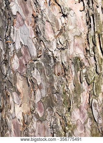 Perfect Background With A Natural Tracery. Old Dry Tree Bark. Dry Wrinkled Multilayer Wood Surface.