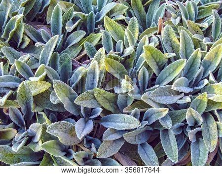 Lamb's Ears, Turkish Lamb's Ear, Stachys Byzantine (stachys Lamiaceae). Garden Plants Close-up.