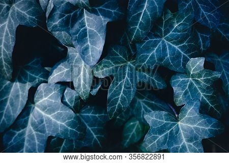 Close Up Of Ivy Leaves Nature Background. Nature Background Of Ivy Leaves. Ivy Leaves Nature Backgro