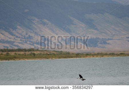Imperial Shag In Flight Over The Ultima Esperanza Inlet.