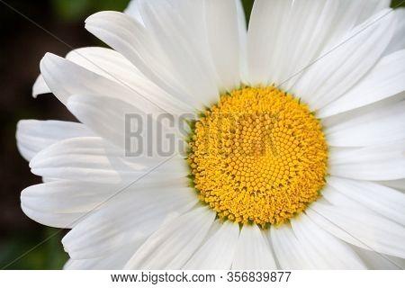 Blooming Oxeye Daisy (leucanthemum Vulgare) Flower. Summer Blossom. Close-up.