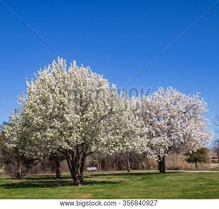 Bradford Pear Trees In Full Bloom In A Texas Park