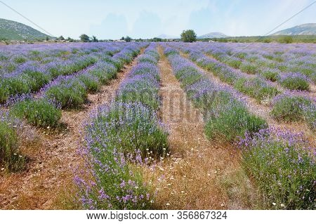 Lavender Field. Mountain Valley Of Dinaric Alps On Sunny Summer Day. Bosnia And Herzegovina, Republi