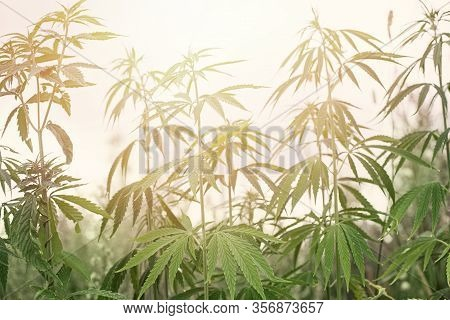 Cannabis Plants With Marijuana Buds Growing Outdoor And Sunlight