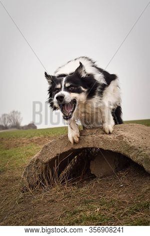 Adult Border Collie Is Cathing Clay On The Field. He Is Waiting For It On Trunk.