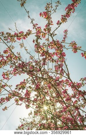 View From Below Of Cherry Blossom Branches With A Turquoise Blue Sky In The Background. Spring Conce