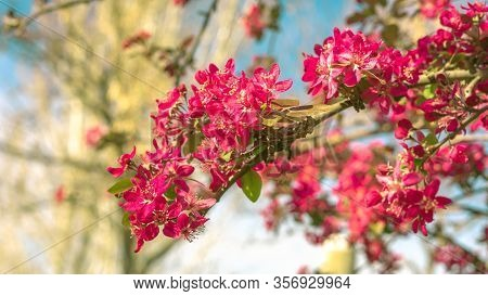 Cherry Branches With Beautiful Pink Flowers, With Trees In The Background, On A Beautiful Spring Day