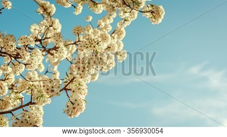 Beautiful Tree With White Flowers In The Form Of A Ball In The Park Juan Carlos I In Madrid On A Sun