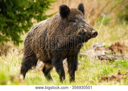 Dominant Wild Boar Male Sniffing With Massive Snout With White Tusks On Meadow