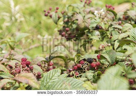 Blackberry, Rubus Fruticosus, Bramble With Ripening And Ripe Berries, In Aquitania, Boyaca, Colombia
