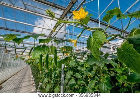 Young Cucumber Plant With Leaves And Little Yellow Flowers And Buds Are Growing In Greenhouse.