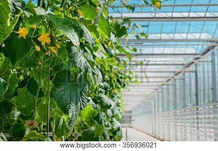 Cucumber Plant With Leaves And Little Yellow Flowers And Buds Are Growing In Greenhouse.