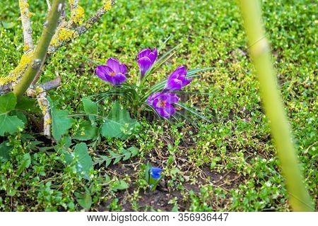 Purple Crocuses In March From The Iris Genus, Iridaceae