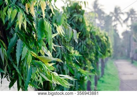 Vibrant Green Colour Plant Leaf Backgrounds With Copy Space Room For Text On Right. Fresh Foliage Pa