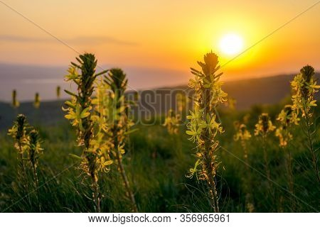 Romantic Scene Taken On The Hill While Hiking Near Sveti Vlas, Bulgaria. Beautiful Yellow Flowers On