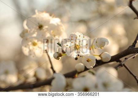 Spring flowers on tree branch sunrise sunset Nature background Nature background Nature background macro flower spring dawn Nature background Close-up Fresh Nature background sun color twig Nature background White flowers trees outdoor Nature background.