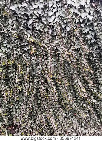 Wall Of Dark Green Ivy Leaves Pattern Texture Background. European Ivy, English Ivy Hedera Helix For