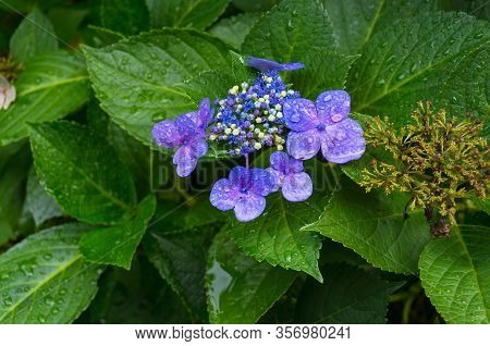 Close Up Of Blue Violet Flowers Blooming In The Garden. Fresh Spring Flowers Nature Close Up With Wa