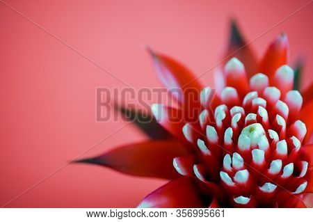 A Macro View Of A Guzmania Flower On A Bright Red Background With Copy Space
