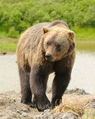 Grizzly bear walking towards camera, having just got out of a stream poster