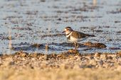 Three-banded plover in Etosha National Park, Namibia poster