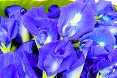 Clitoria Ternatea Also Known As The Butterfly Pea Flower, Used For Food Coloring. poster