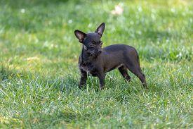 Cute Black Puppy Portrait, Chipoo Puppy, (chihuahua Poodle Mix)