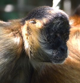 Spider Monkeys Are New World Monkeys Belonging To The Genus Ateles, Part Of The Subfamily Atelinae,.