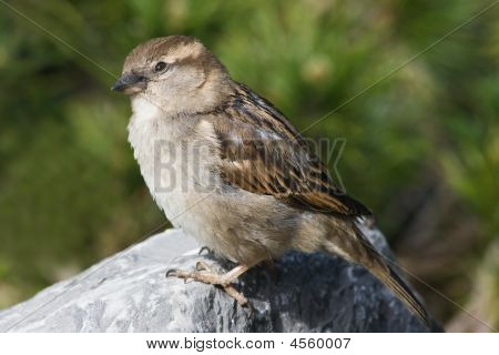 female house sparrow on a stone in the sun poster