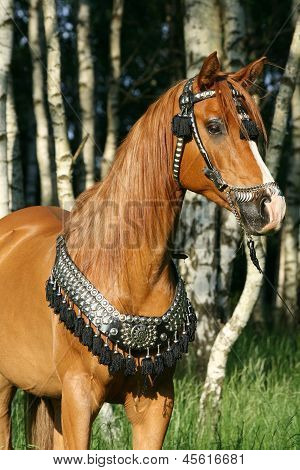 Chestnut Arabian Stallion With Perfect Harness