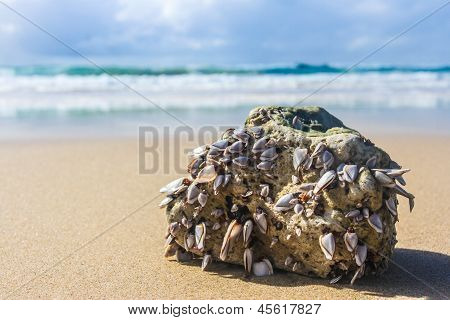 Beach mussels on a rock on a sandy beach poster