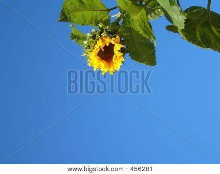 Harlestone Sunflower