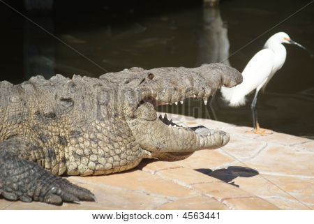 Crocodile large with more of body showing with egret in background poster