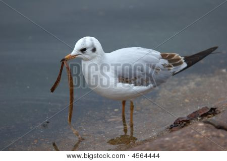 Seagull Eating